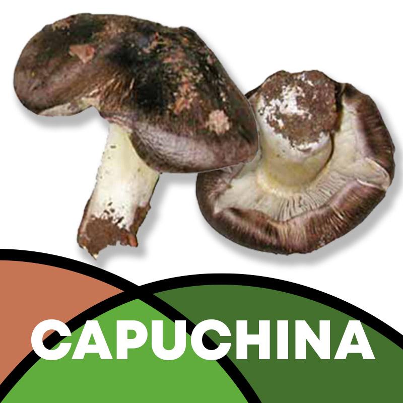 Capuchina en Soria