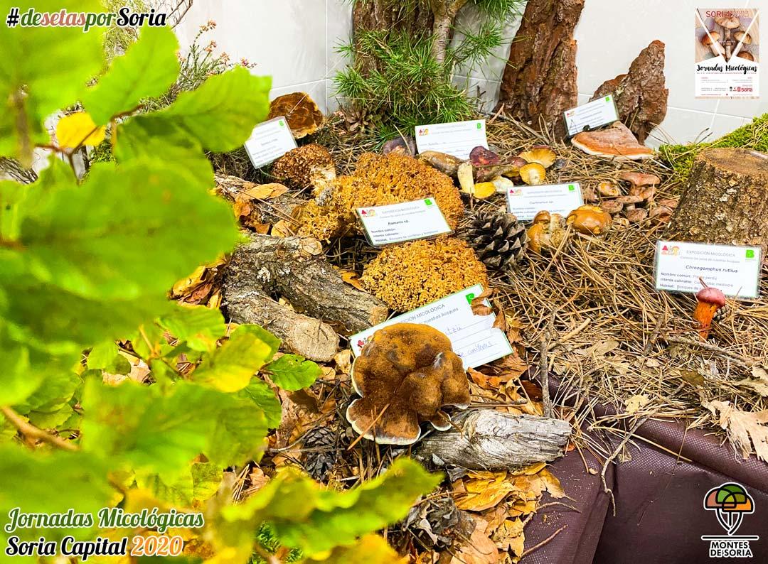 Jornadas Micológicas Soria 2020 setas en fresco