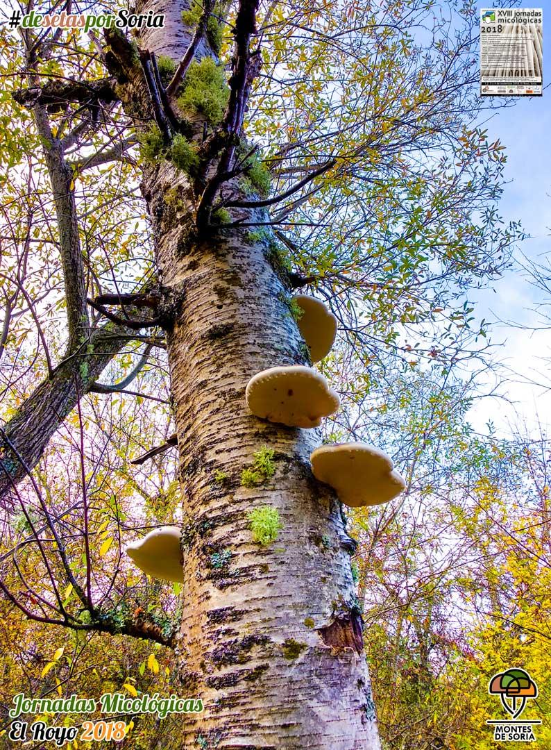 Jornadas micológicas El Royo 2018 árboles