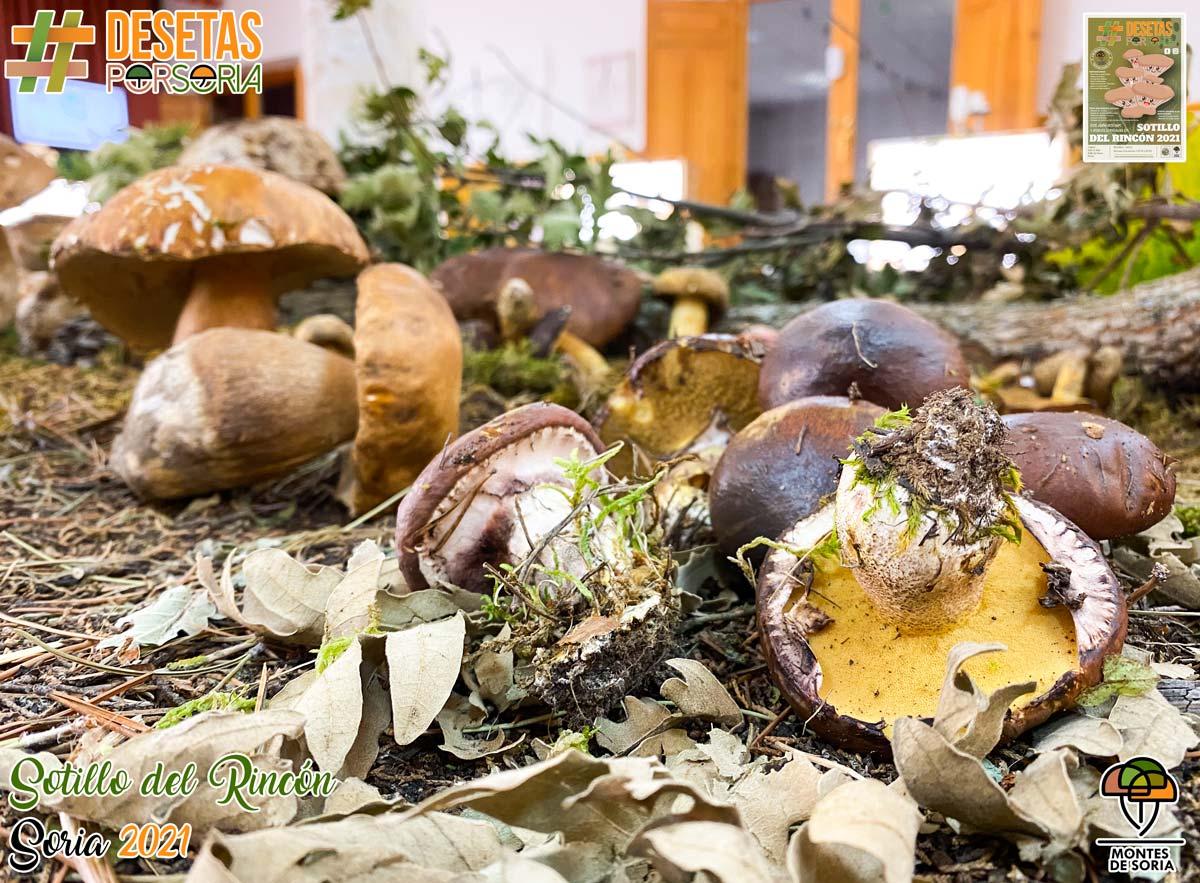 De setas por Soria - Sotillo del Rincón 2021 setas frescas 13